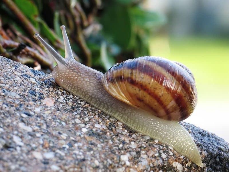 common-snail