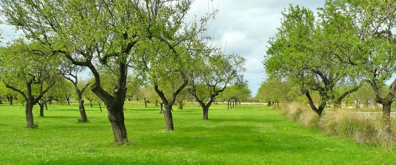 olive-trees - know your tree