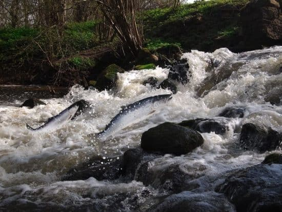 Salmon jumping back upstream - Yorkshire Fish Pass