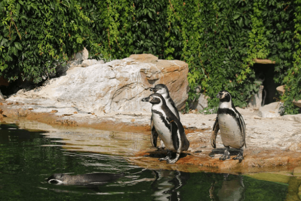Penguins in a zoo