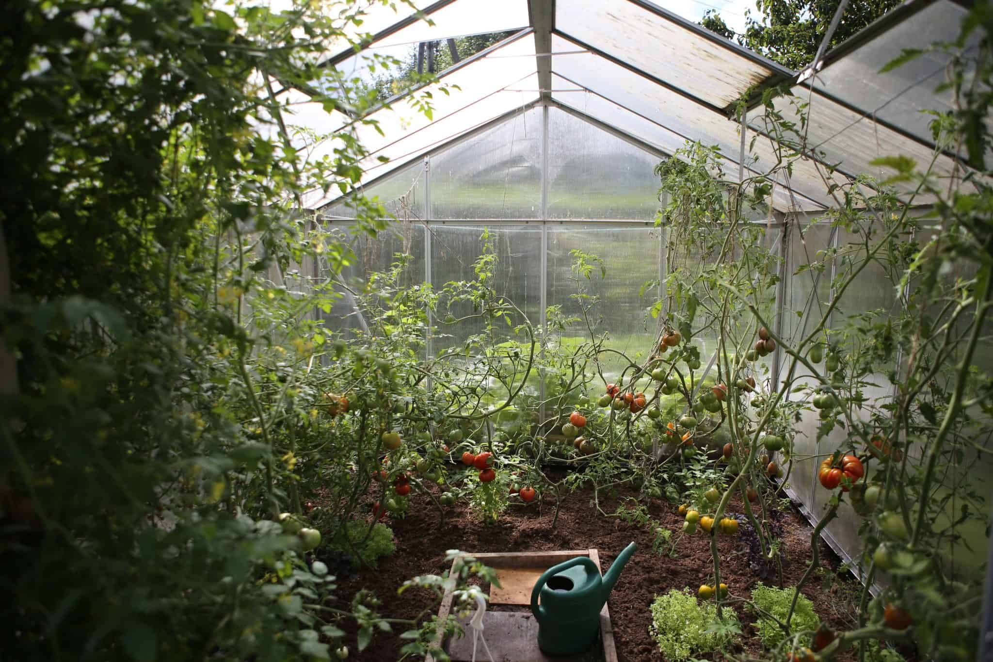 Can you grow tomatoes in a greenhouse in Winter?
