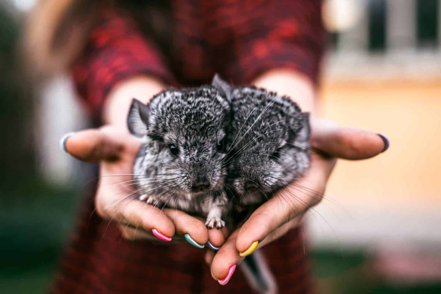 Check out these 9 interesting facts about your loved little Chinchilla