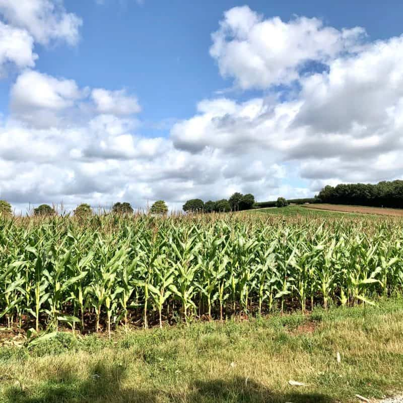 Maize-Field-at-Darts-Farm