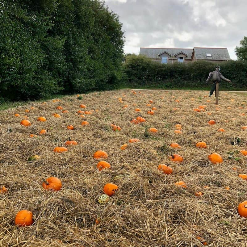 Where to go pumpkin picking in Cornwall and Devon