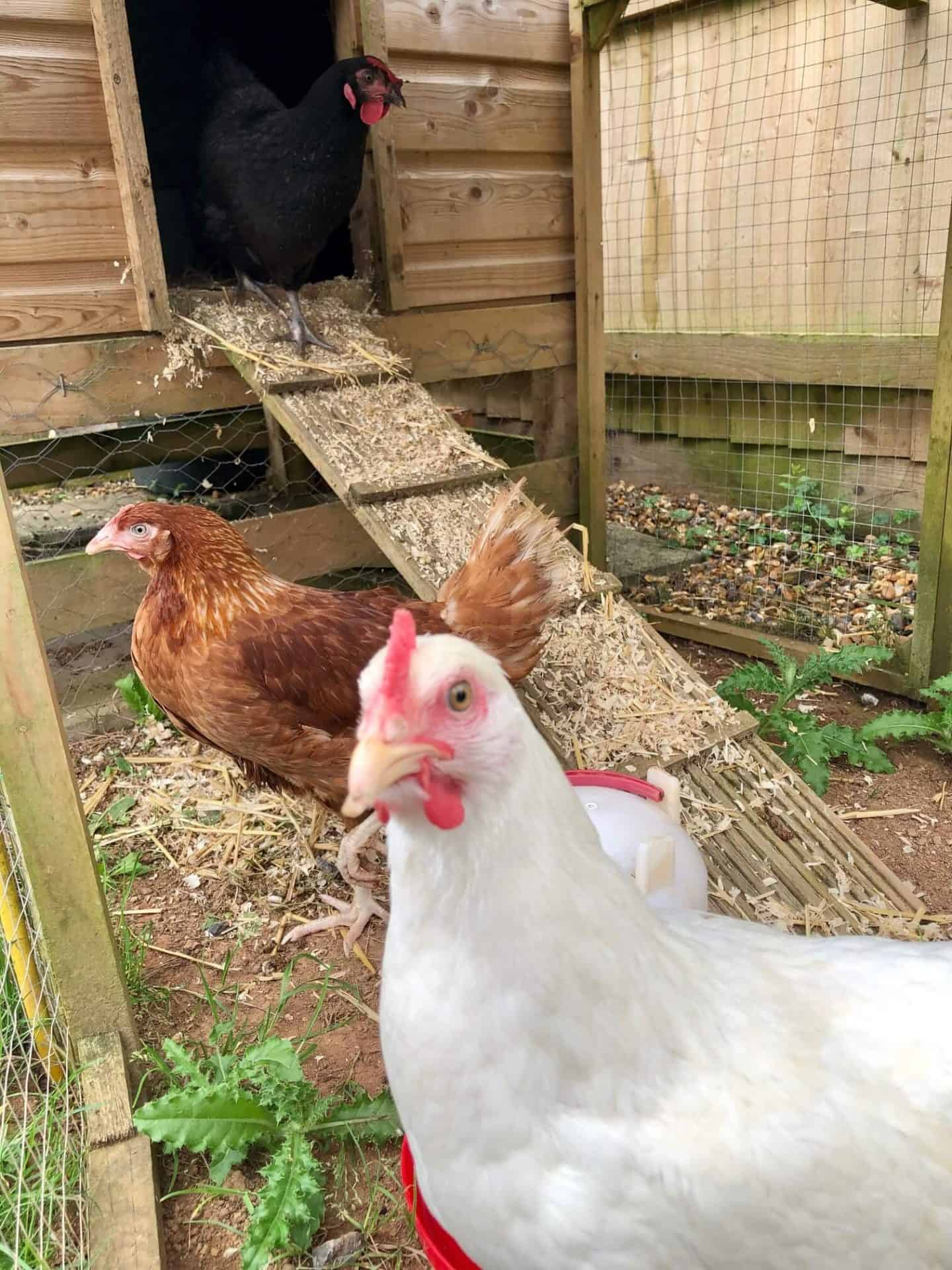 The chickens - August 2020